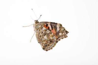 American Painted Lady, Vanessa Cardui, a Native to Nebraska, at the Lincoln Children's Zoo-Joel Sartore-Photographic Print