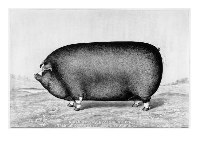 American Pig, 1890--Giclee Print