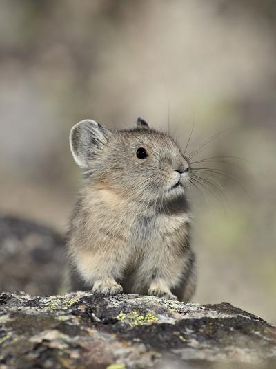 American Pika (Ochotona Princeps), Shoshone National Forest, Wyoming, USA, North America-James Hager-Photographic Print