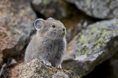 American Pika (Ochotona Princeps), Yellowstone National Park, Wyoming, United States of America-James Hager-Photographic Print