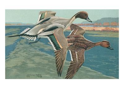 American Pintail Ducks--Art Print