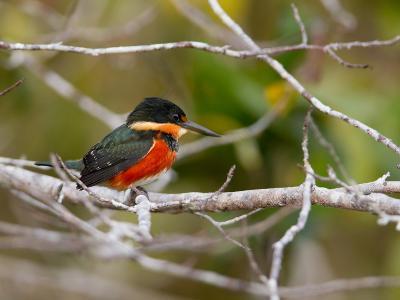 American Pygmy Kingfisher, Chloroceryle Aenea-Roy Toft-Photographic Print