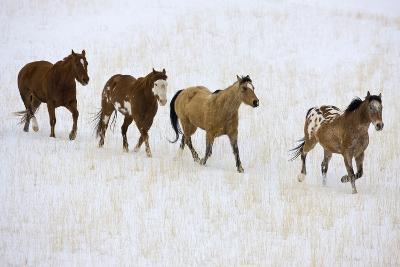 American Quarter Horses in Winter-Darrell Gulin-Photographic Print