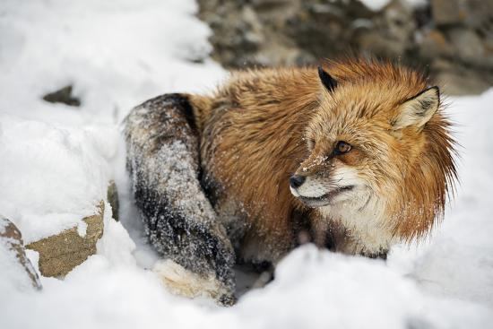 American Red Fox (Vulpes Vulpes Fulves), Montana, United States of America, North America-Janette Hil-Photographic Print