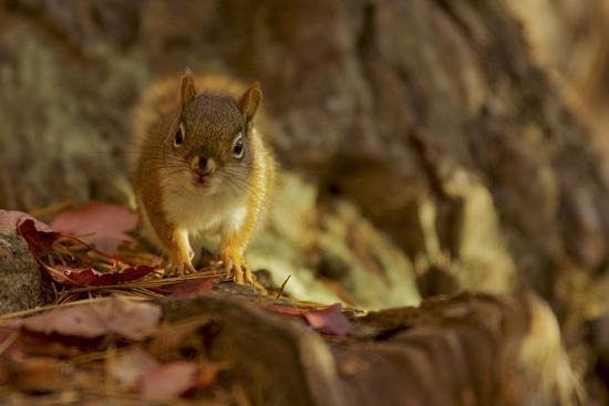 American red squirrel, Tamiasciurus hudsonicus, on the forest floor in autumn.-Tim Laman-Photographic Print