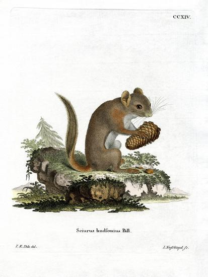 American Red Squirrel--Giclee Print