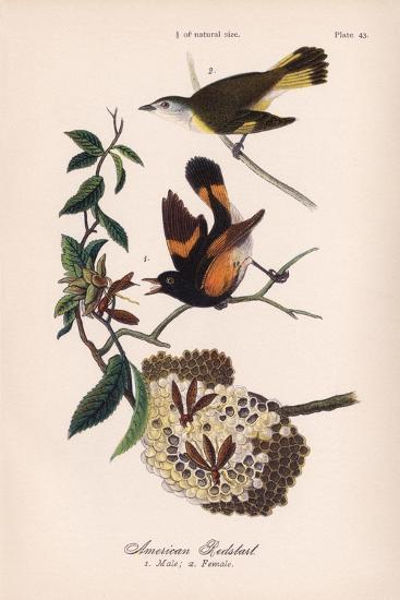American Redstart, Vintage Bird, Plate 43-Piddix-Art Print