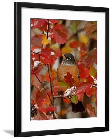 American Robin, Male in Black Hawthorn, Grand Teton National Park, Wyoming, USA-Rolf Nussbaumer-Framed Photographic Print
