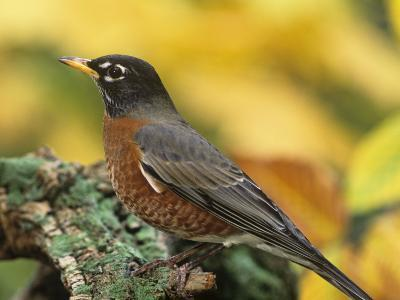 American Robin Male on a Snag (Turdus Migratorius). North America-Steve Maslowski-Photographic Print
