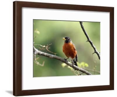 American Robin on a Tree Branch-Darlyne A. Murawski-Framed Photographic Print