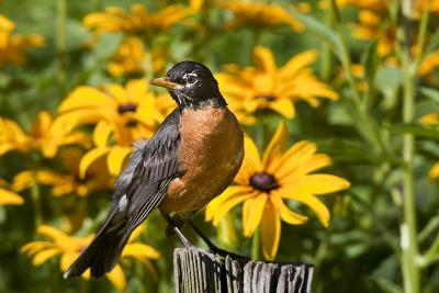 American Robin on Fence Post in Garden, Marion, Illinois, Usa-Richard ans Susan Day-Photographic Print