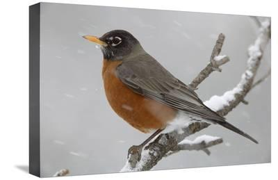 American Robin perching in snow storm, North America-Tim Fitzharris-Stretched Canvas Print
