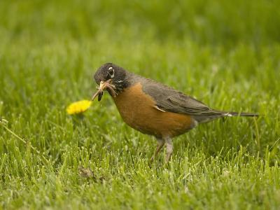 American Robin with an Earthworm in its Bill (Turdus Migratorius), North America-Tom Walker-Photographic Print