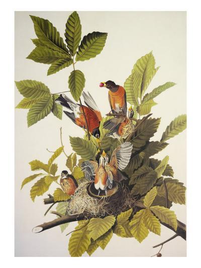 American Robin-John James Audubon-Art Print