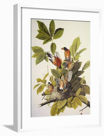 American Robin-John James Audubon-Framed Art Print