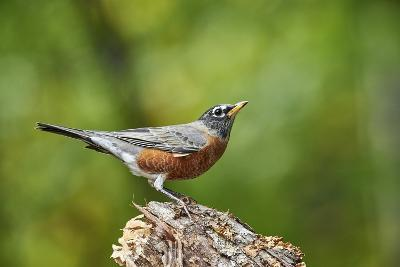 American Robin-Gary Carter-Photographic Print