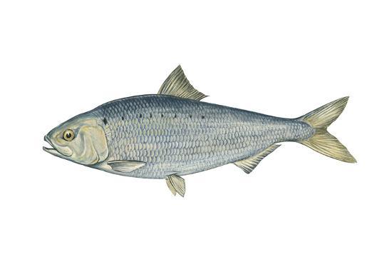 American Shad (Alosa Sapidissima), Fishes-Encyclopaedia Britannica-Art Print