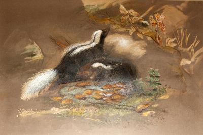 American Skunk-Joseph Wolf-Giclee Print