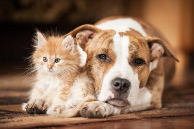 American Staffordshire Terrier Dog with Little Kitten-Grigorita Ko-Photographic Print