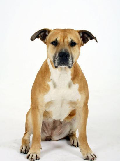 American Staffordshire Terrier Staffy Sitting Portrait-Petra Wegner-Photographic Print