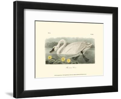 American Swan-John James Audubon-Framed Art Print