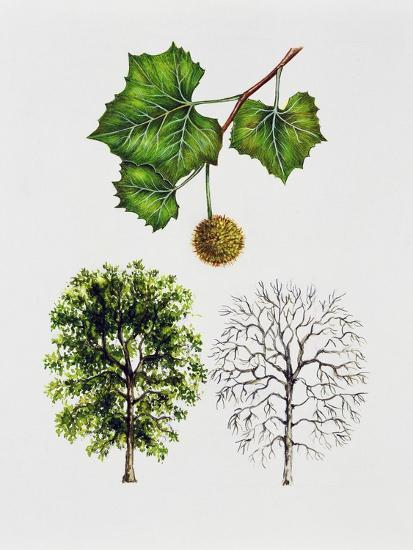 American Sycamore--Giclee Print