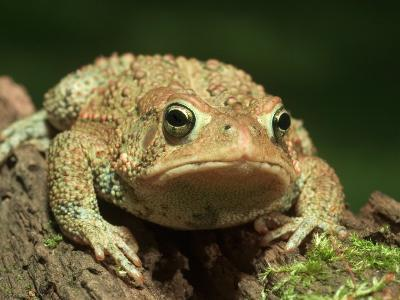 American Toad on Log, Eastern USA-Maresa Pryor-Photographic Print