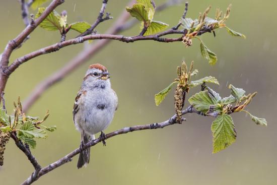 American Tree Sparrow Singing-Ken Archer-Premium Photographic Print