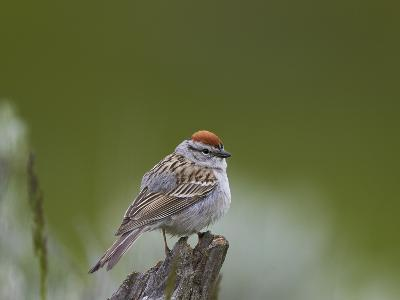 American Tree Sparrow (Spizella Arborea), Yellowstone National Park, Wyoming, U.S.A.-James Hager-Photographic Print