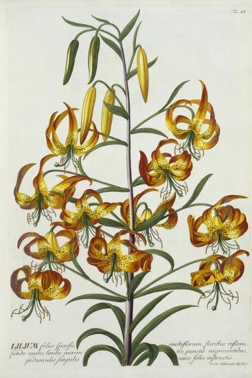 American Turkscap Lily, C.1740-Georg Dionysius Ehret-Giclee Print