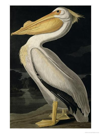 American White Pelican, from Birds of America, Engraved by Robert Havell-John James Audubon-Giclee Print