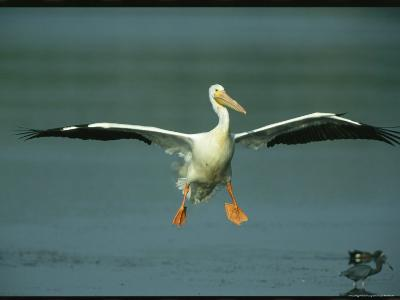 American White Pelican in Flight over a Salt Water Lagoon-Klaus Nigge-Photographic Print