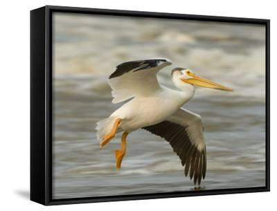 American White Pelican in Low Flight over the Slave River Rapids-Klaus Nigge-Framed Canvas Print
