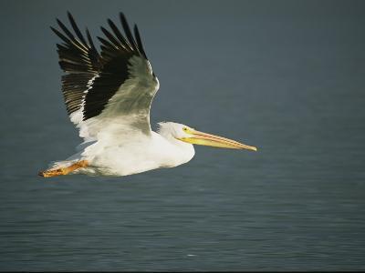 American White Pelican (Pelecanus Erythrorhynchos), Placida, Florida-Roy Toft-Photographic Print