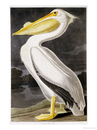 American White Pelican-John James Audubon-Premium Giclee Print