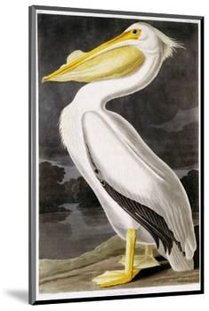 American White Pelican-John James Audubon-Mounted Premium Giclee Print
