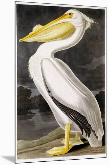 American White Pelican-John James Audubon-Mounted Giclee Print
