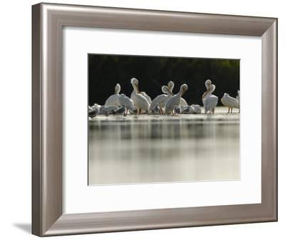 American White Pelicans and Other Birds in Florida Wintering Grounds-Klaus Nigge-Framed Photographic Print