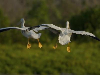 American White Pelicans Coming in for a Landing-Tim Laman-Photographic Print