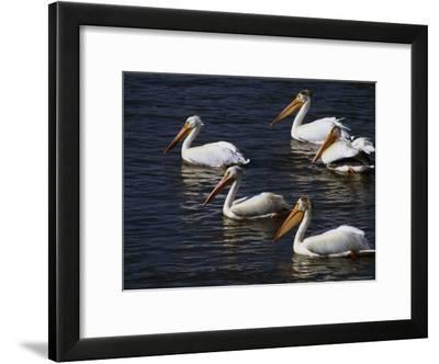 American White Pelicans, Klamath Basin Refuge Complex, Oregon-Phil Schermeister-Framed Photographic Print