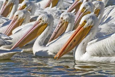 American White Pelicans-Clay Coleman-Photographic Print