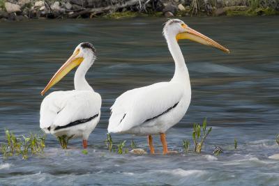 American White Pelicans-Ken Archer-Photographic Print