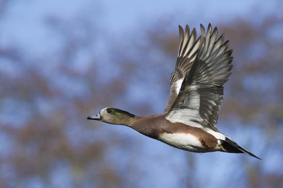 American Widgeon Duck-Ken Archer-Photographic Print