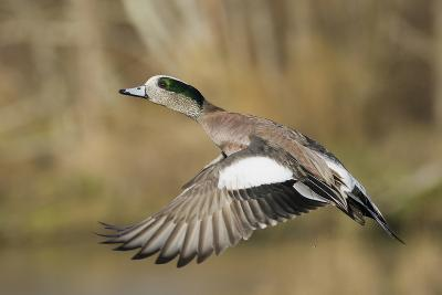American Widgeon Taking Flight-Ken Archer-Photographic Print