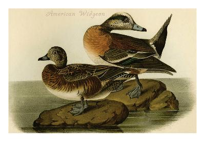 American Widgeon-John James Audubon-Art Print