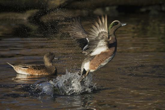American Wigeon flying-Ken Archer-Photographic Print