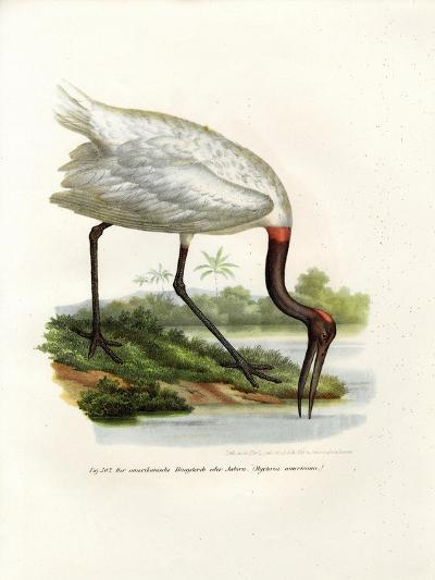 American Wood Ibis, 1864--Giclee Print