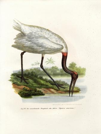 https://imgc.artprintimages.com/img/print/american-wood-ibis-1864_u-l-pvq7zn0.jpg?p=0