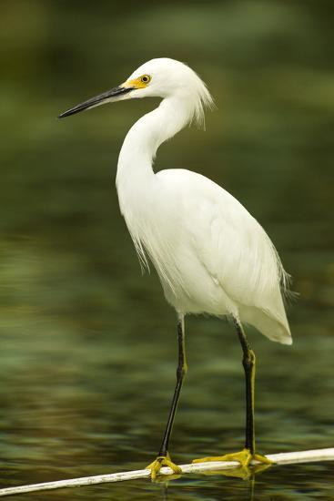 Americas. Egretta Thula, Snowy Egret Juvenile , Tropical Forest-David Slater-Photographic Print