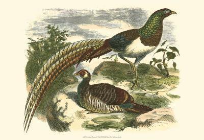 Amherst Pheasant--Art Print